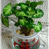 合果芋 绿化苗木 室内观叶盆栽 壁挂装饰 大量批发价格优惠
