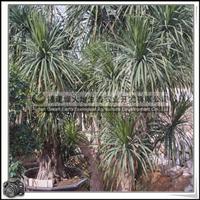 龙血树|绿化苗木|常绿小灌木|室内装饰摆放植物