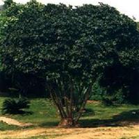 福建绿大地【鸭脚木】园林绿化苗木