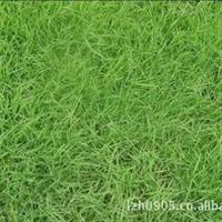 福建绿大地【马尼拉草】园林绿化苗木