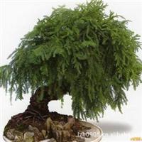 福建绿大地【澳洲杉】园林绿化苗木