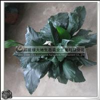 螺纹铁|园林绿化苗木|盆景|常绿灌木|价格优惠大量批发