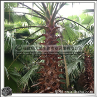 华棕树 优质绿化树 园林观赏树 常绿乔木