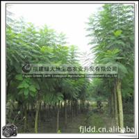 蓝花楹 风景树 行道树 遮荫树 优质苗木 价格优惠大量批发