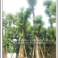 供应胸径1米大型香樟绿化园林苗木