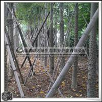 福建绿大地供应 移植苗美丽异木棉绿化乔木