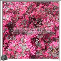 红花继木|喜光,稍耐阴|园林景观树|优质苗,大量批发