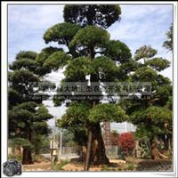 罗汉松 观赏苗木 株高18m 景观用材