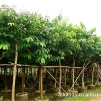 园林绿化苗木、风景树、观花树【大叶紫薇】