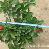 园林绿化苗木【虎刺梅】Euphorbiasplendens