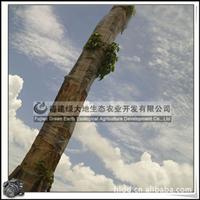 福建绿大地供应 香樟树桴树截冠树行道树