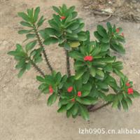 园林绿化苗木【虎刺梅】50cm-55cm