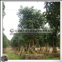 福建绿大地供应 黄槿 常绿乔木 行道树 大量批发,价格优惠