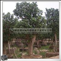 福建绿大地供应 黄槿 胸径28公分 行道树 优质绿化苗