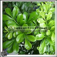 福建绿大地供应|灌木楝科米兰夏季花