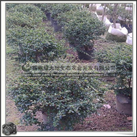 福建绿大地供应 常绿灌木紫草科福建茶球状