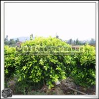 福建绿大地供应|常绿灌木桑科黄金榕球园林绿化苗木