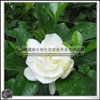 福建绿大地供应|灌木�x草科栀子花夏季花卉