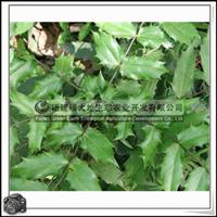 福建绿大地供应 灌木小檗科阔叶十大功劳观叶植物
