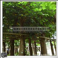刺桐|不耐寒|胸径18cm|绿化优质景观用树