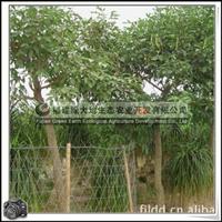 福建绿大地供应|鸡冠刺桐行道树景观树