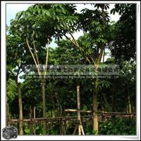 福建绿大地供应|萍婆树|地苗