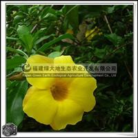 福建绿大地供应|夹竹桃科软枝黄婵夏季花卉