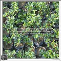 福建绿大地供应 常绿灌木紫草科福建茶绿化带