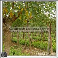 福建绿大地供应|降低噪音工程用绿化苗鸡冠刺桐