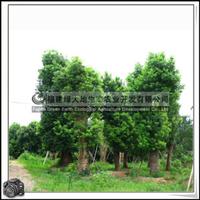 福建绿大地供应 樟树园林行道树种