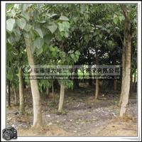 福建绿大地供应|名贵菩提树景观苗木无花果