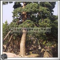 福建绿大地供应 罗汉松盆景造型 园林造景 罗汉松