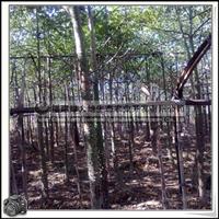 福建绿大地供应 高级风景树观花乔木美丽异木棉