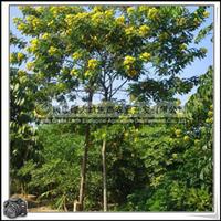 福建绿大地供应|黄花槐|观花树种|花期长|城市道路绿化