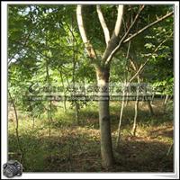 福建绿大地供应 蓝花楹南方树种