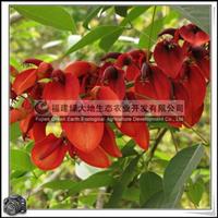 福建绿大地供应|鸡冠刺桐泉州市花