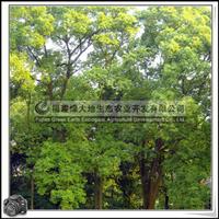 福建绿大地供应 主景树樟科樟树胸径70公分以上