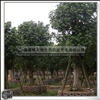 福建绿大地供应 黄槿 胸径27公分 优质绿化苗