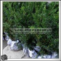 福建绿大地供应 袋植小苗红豆杉科红豆杉胸径1-5公分