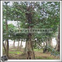 福建绿大地供应 乔木小叶榕风景树