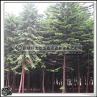 福建绿大地供应|诺福克南洋杉细叶景观树胸径7-8公分