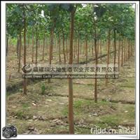 福建绿大地供应|庭院观赏苗木地苗移植苗菩提树