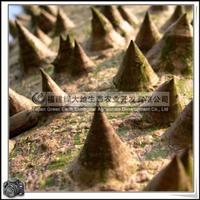 福建绿大地供应 美丽异木棉美人树
