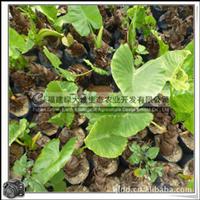 海芋|室内装饰观赏植物|多年生草本植物