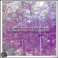 福建绿大地供应 Ceibainsignis园林美丽异木棉