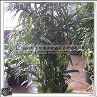 福建绿大地供应|灌木花卉散尾葵室内观赏盆栽