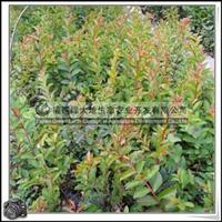 福建绿大地供应|小叶紫薇袋苗