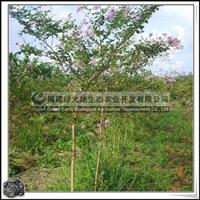 福建绿大地供应|小叶紫薇