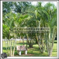 福建绿大地供应|办公绿化植物丛生常绿灌木散尾葵