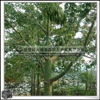 福建绿大地供应 庭院观赏美丽异木棉假植苗